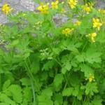 Rostopasca – Chelidonium majus