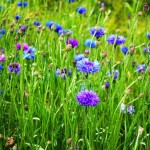 Albastrea – centaurea cyanus